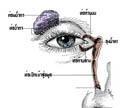 ท่อน้ำตาอุดตัน ( Nasolacrimal duct obstruction )